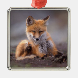 red fox, Vulpes vulpes, pup scratching itself, Square Metal Christmas Ornament