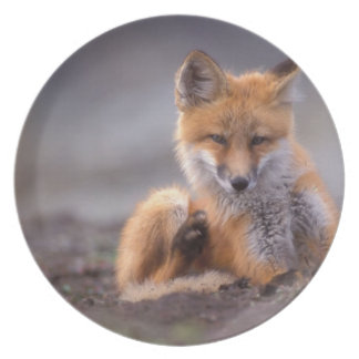 red fox, Vulpes vulpes, pup scratching itself, Plates
