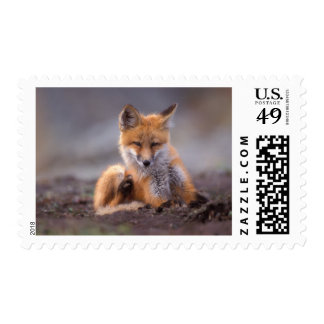 red fox, Vulpes vulpes, pup scratching itself, Postage