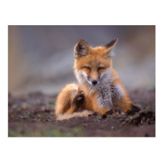 red fox, Vulpes vulpes, pup scratching itself, Postcard