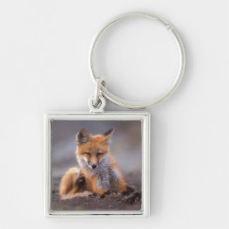 red fox, Vulpes vulpes, pup scratching itself, Silver-Colored Square Keychain