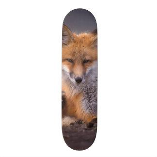 red fox, Vulpes vulpes, pup scratching itself, Skateboard