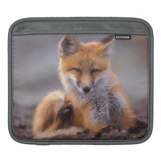 red fox, Vulpes vulpes, pup scratching itself, Sleeve For iPads
