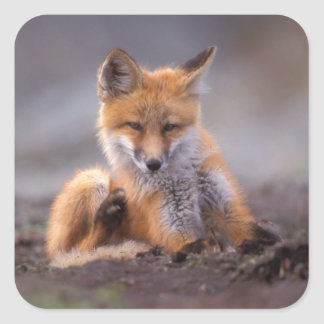 red fox, Vulpes vulpes, pup scratching itself, Square Sticker