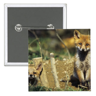 Red Fox, Vulpes vulpes , young at den, 2 Inch Square Button