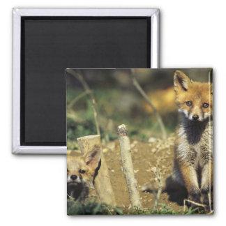 Red Fox, Vulpes vulpes , young at den, Magnet