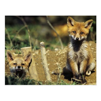 Red Fox, Vulpes vulpes , young at den, Postcard