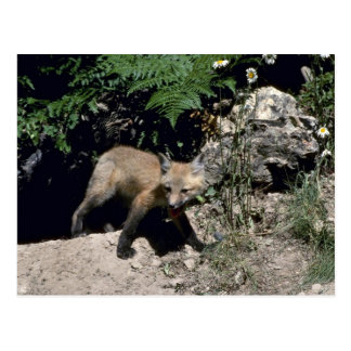 Red Fox-young kit emerging from den Post Card