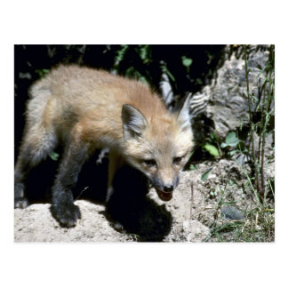 Red Fox-young kit emerging from summer den Postcards