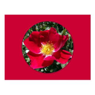 Red / Fuchsia rose Postcard