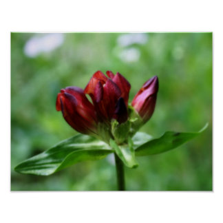 Red Gentian In Bloom Flower Poster