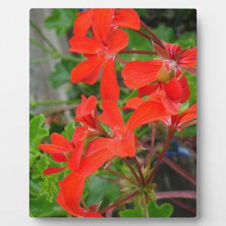 Red Geranium blooms Plaque