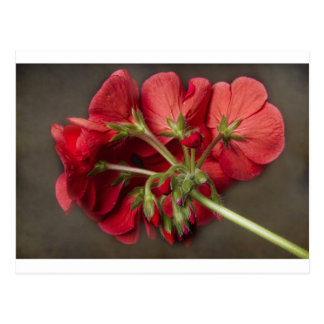 Red Geranium In Progress Postcard