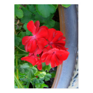 Red Geraniums CricketDiane Art Design Photography Postcard
