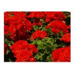 Red Geraniums Postcard at Zazzle
