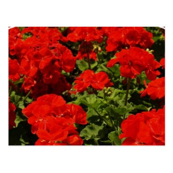 Red Geraniums Postcard by PerennialGardens at Zazzle