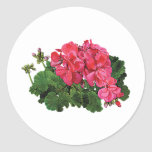 Red Geraniums with Buds Classic Round Sticker
