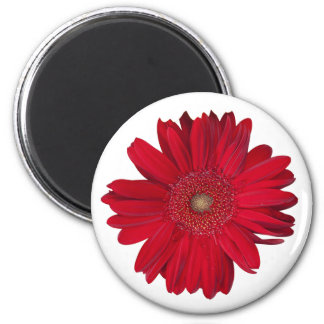 Red Gerber Daisy Close Up Photograph 2 Inch Round Magnet
