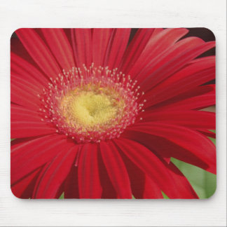 Red Gerber daisy flower background Mouse Pad