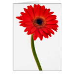 Red  Gerber Daisy Flowers Floral Daisies Flower Card