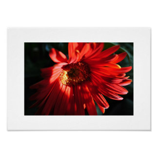 Red Gerber Daisy Photograph Framable Poster