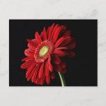 Red Gerber Daisy Postcard