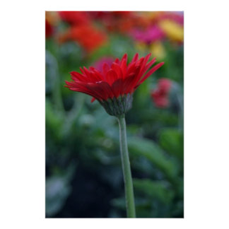 Red gerbera daisy flower photo Imaginative Imagery Poster