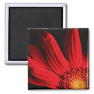 Red gerbera daisy magnet