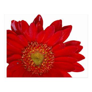 Red Gerbera Daisy Postcard