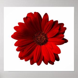 Red Gerbera Daisy Poster