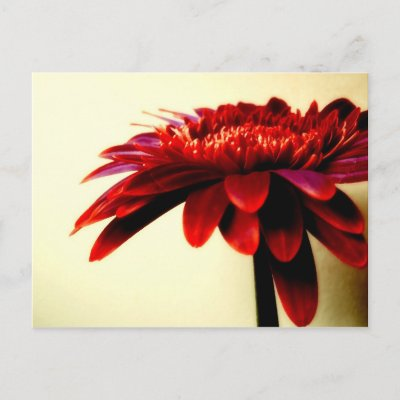 Red Gerbera Postcard postcard