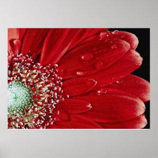Red Gerbera Poster