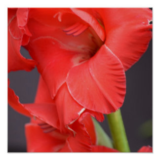 Red Gladiola Flowers Poster