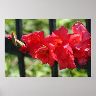 Red gladiola poster