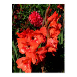 Red Gladiolas Post Cards