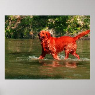 Red Golden Retriever Running in Water Poster