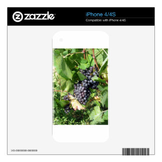 Red grapes in a vineyard skin for the iPhone 4