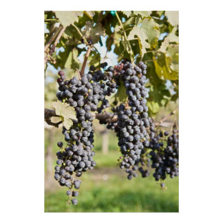 Red Grapes on the Vine Poster