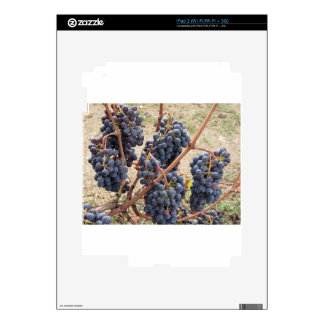 Red grapes on the vine . Tuscany, Italy iPad 2 Skins