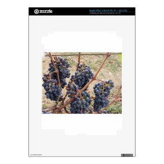 Red grapes on the vine . Tuscany, Italy iPad 3 Decal