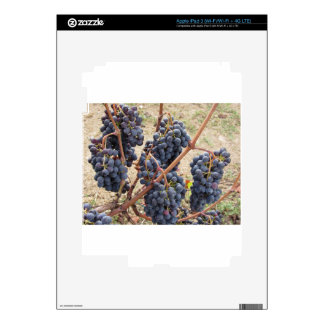 Red grapes on the vine . Tuscany, Italy iPad 3 Skin