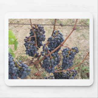 Red grapes on the vine . Tuscany, Italy Mouse Pad