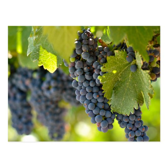 Red Grapes on the Vine used to make wine Postcard