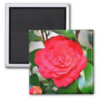 Red green leaf Camellia flower close-up 2 Inch Square Magnet
