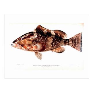 Red Grouper (color) Postcard