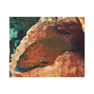 Red Grouper Stretched Canvas Prints
