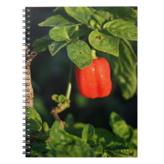 red habanerno hot pepper against leaves notebook
