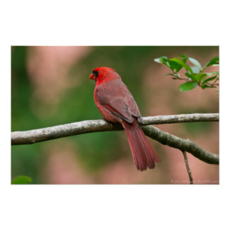 Red Head Out On A Limb Male Cardinal Poster