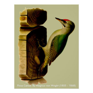 Red-head Woodpecker Posters