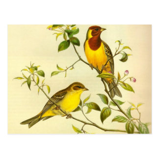 Red-headed Bunting Emberiza bruniceps Postcards